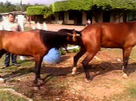 apareamiento de caballos youtube