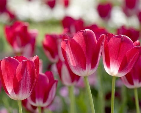 Wonderful Collection Of Tulips