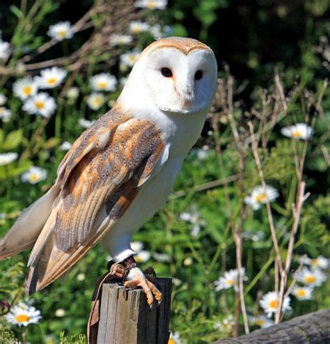 picture barn owl owl