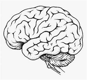 Printable Unlabeled Brain Diagram