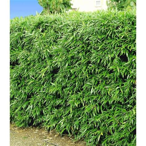 Garten Pflanzen Winterhart by Winterharte Bambus Hecke 5 Pflanzen Baldur Garten Gmbh