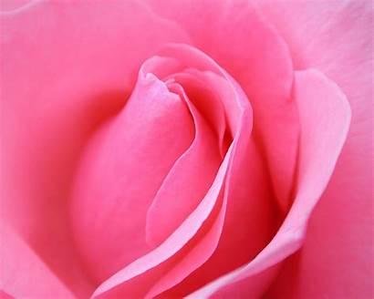 Pink Rose Flowers Nature Wallpapers Macro 1024
