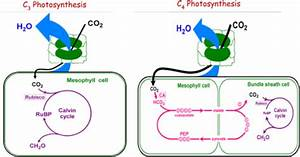 A Schematic Diagram Of C3 And C4 Photosynthesis