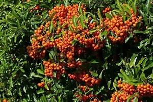 Busch Mit Roten Beeren : feuerdorn mit fr chten beeren feuerdorn sorte orange glow ~ Markanthonyermac.com Haus und Dekorationen