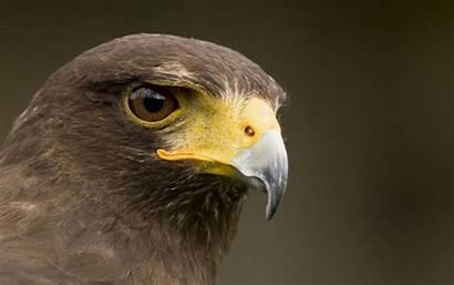 Hawk Wallpapers Birds 1080p Hawks Bird Harris