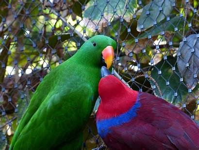 Birds Parrots Maroon Kissing Cage Wire Verte