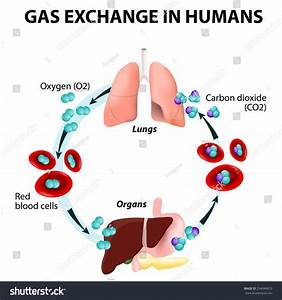 Gas Exchange Humans Path Red Blood Stock Vector 234084073