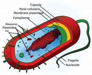 File Average Prokaryote Cell- Fr Svg