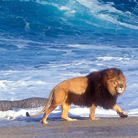 The Barbary Lion Considered Largest World