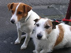 how much do rat terriers shed blurtit