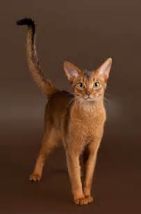 abyssinian cat abyssinian cat breed information pet365
