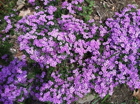 creeping phlox what flower will you plant it s national plant a flower day