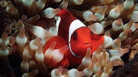 clown fish hd wallpapers