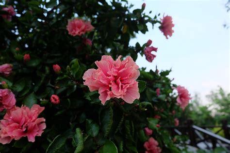 azalea coltivazione in vaso come coltivare l azalea guida coltivazione