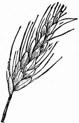 Wheat Clipart Drawing Clip Cliparts Ear Drawings Head Grain Bundle Plant Draw Line Ears Barley Vector Sheaf Clipartbest Library Results sketch template
