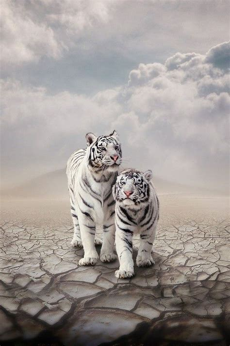 Amazing Big Cats White Tigers Lions Beautiful