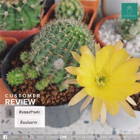 Review : ดินแคคตัส ดินกระบองเพชร | สวน, กุหลาบ, ต้นไม้