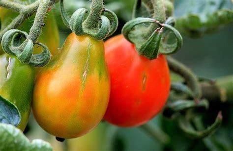 coltivare pomodori in vaso coltivare i pomodori sul balcone cure naturali it