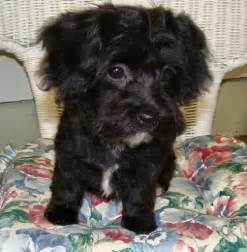 Yorkie and Poodle Mix Puppies