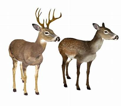 Deer Transparent Whitetail Background Clipart Head Tailed
