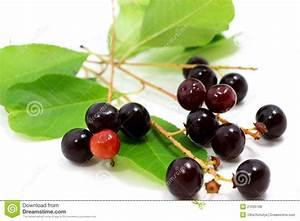 Prunus Serotina Fruits Royalty Free Stock Photos - Image ...