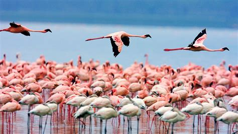 flamingo wallpapers pixelstalknet