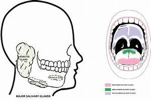 Secretions Of Human Salivary Gland