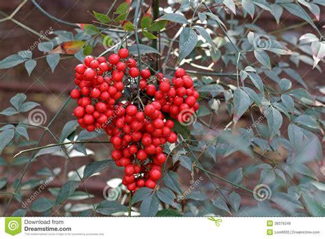 strauch mit roten beeren strauch mit roten beeren stockfoto bild makro sch 246 nheit 38376248