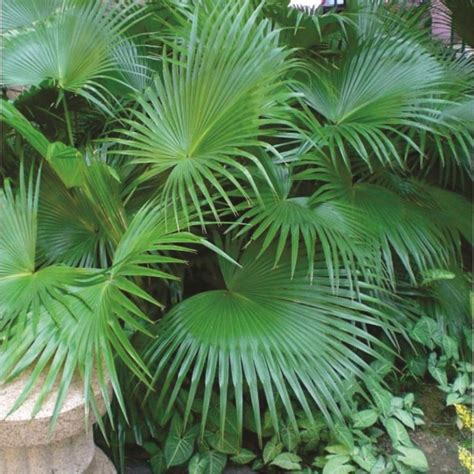 planting fan palm trees chinese palm tree chinese fan palm tree plants and