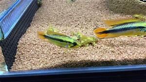 Poisson Aquarium Eau Chaude : poisson d 39 eau chaude laveur de vitre ancistrus sp red ~ Mglfilm.com Idées de Décoration