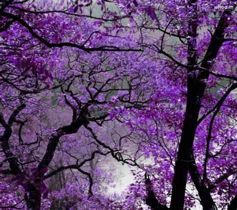 purple flowers tree hd wallpaper