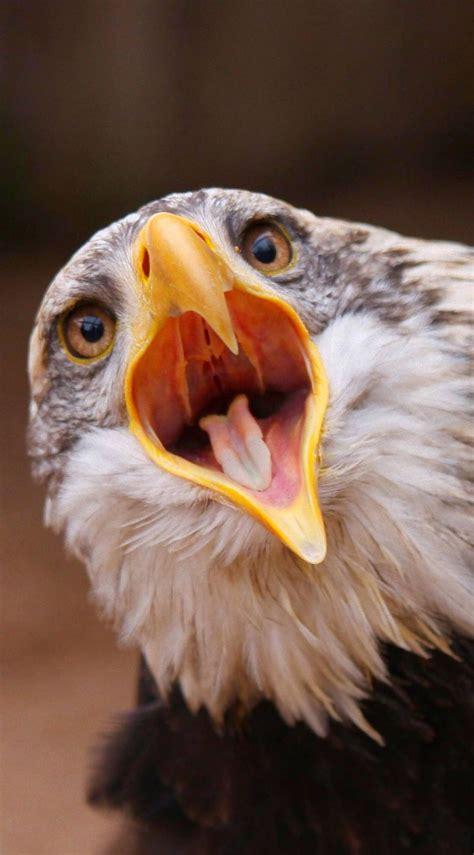 eagle   mouth open birds eagle animals