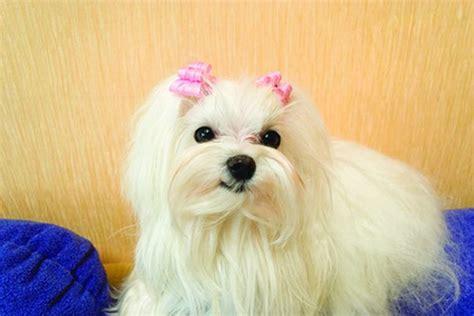 bathing  maltese puppy pets