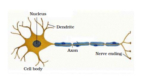 draw  labelled diagram   neuron