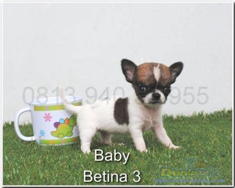 dunia anjing jual anjing chihuahua supermini mini