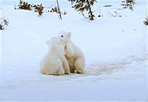 gif funny cute adorable animal nature bear cub polar bear ...