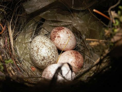 a closeup of bird eggs from a wren wrens pinterest