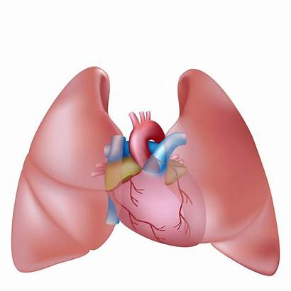 Lungs Human Heart Lung Clipart Clip System