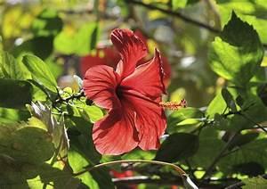 Wann Schneidet Man Hibiskus : roseneibisch schneiden hibisus syriakus garteneibisch ~ Lizthompson.info Haus und Dekorationen