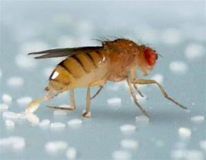 For The Fruit Fly, Everything Changes After Sex ...