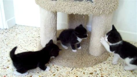 tuxedo kittens  play youtube