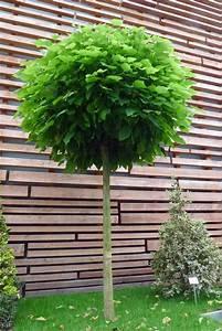 Baum Vorgarten Immergrün : die besten 25 kugelbaum ideen auf pinterest diy ~ Michelbontemps.com Haus und Dekorationen