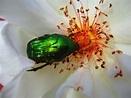 Rose chafer. Flower plot 5/7/19 | Flowers, Beetle, Insects