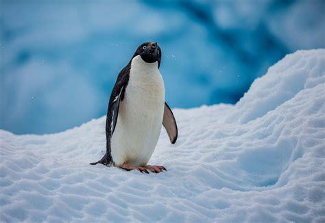 Snow Animal Wallpaper - penguins nature snow animals wallpapers hd