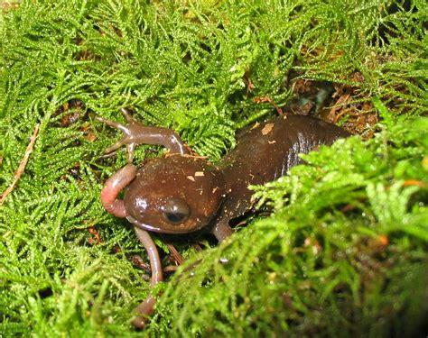 salamandre cuisine file pacific brown salamander a worm jpg