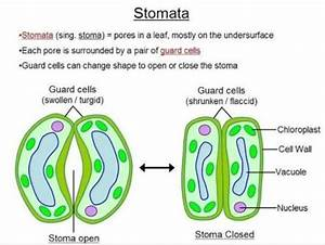 A  Draw A Diagram To Show Open Stomatal Pore And Label On