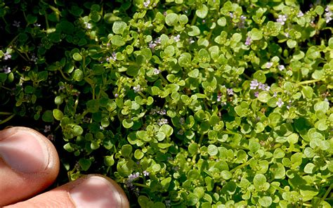korsische minze pflanze minze maca myrte pflanzen