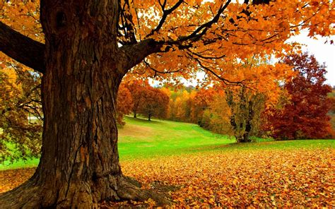 autumn   yellow tree hd nature wallpaper preview