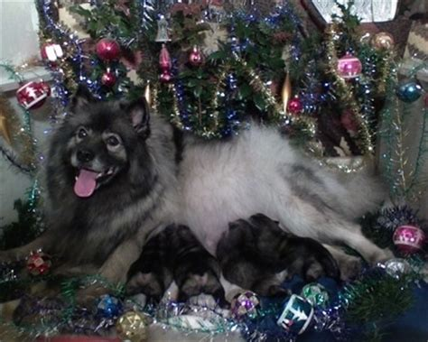keeshond dog breed pictures
