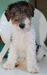 wire haired terrier, love | Animals | Pinterest